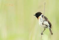 ノビタキ - 北の野鳥たち