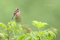 ベニマシコ - 北の野鳥たち