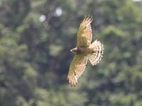 サシバ - 『彩の国ピンボケ野鳥写真館』