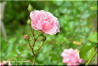 豊平公園の薔薇 - 北海道photo一撮り旅