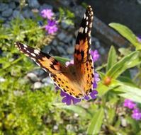 蝶よ花よ… - 侘助つれづれ