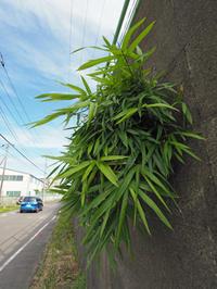 ど根性植物 「笹」 - ご無沙汰写真館