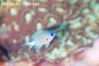 何てワガママな ~オナガスズメダイ幼魚~ - 池ちゃんのマリンフォト