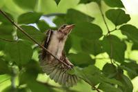 雛のストレッチ サンコウチョウ - 鳥さんと遊ぼう