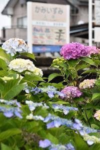 上泉駅のアジサイ - このひとときを楽しもう