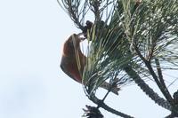 イスカ - くろせの鳥
