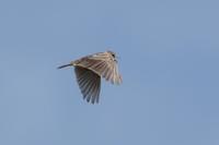 ヒバリ - くろせの鳥