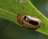 カシワツツハムシ? Cryptocephalus scitulus - 写ればおっけー。コンデジで虫写真