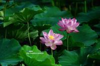蓮の花にカワセミ ③ - azure 自然散策 ~自然・季節・野鳥~