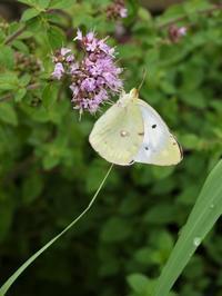 コテージガーデンの蝶 - park diary