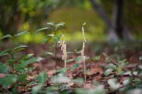 タシロランの開花の様子を見に行く。 - 出町隠居のブログ