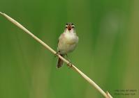 北海道では水辺の葭原にきわめて多い、コヨシキリ - THE LIFE OF BIRDS ー 野鳥つれづれ記
