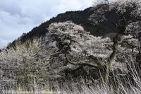 長和町 桜 - photograph3