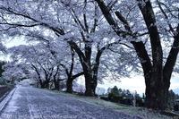 大町霊園 桜 - photograph3