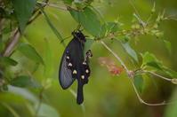 ジャコウアゲハ 7月12日 - 超蝶