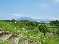 姫女苑と桜島 - いつかみたソラ