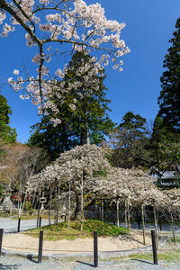 桜咲く京都2018 千眼桜咲く大原野神社 - 花景色-K.W.C. PhotoBlog