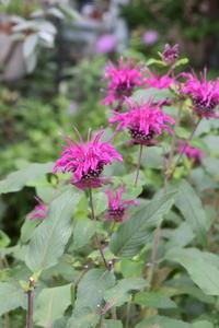 モナルダの二番花が咲きました♪ - 小さな庭 2