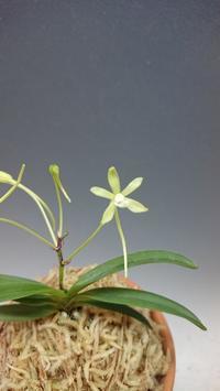 富貴蘭交配緑花 - DREAM GRASSES