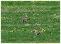ヒバリ 地上で静か、空で騒がし - 野鳥の素顔 <野鳥と・・・他、日々の出来事>
