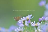セセリチョウ - お花びより