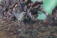 コルリの幼鳥 - 上州自然散策2
