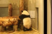 本日はシャンシャン日和。写真を14枚掲載中(上野動物園) - 旅プラスの日記