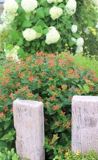 2番花やら切り戻し後やらの庭 - ペコリの庭 *