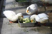 2月の井の頭~お食事コールダックと泳ぐミズグモと「かいぼり」中の井の頭池 - 続々・動物園ありマス。