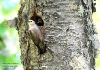 コムクドリは地方によってサクラドリといわれる - THE LIFE OF BIRDS ー 野鳥つれづれ記