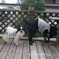 犬と私の関節炎☆ドッグデリでお相撲 - 狆の茶々丸