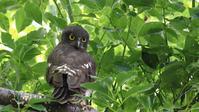 3年前のアオバズク巣立ち雛 - Life with Birds 3