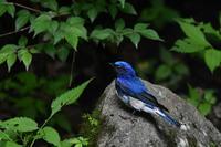 青と赤 オオルリ アカゲラ  - 鳥さんと遊ぼう