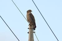 西表の野鳥カンムリワシByヒナ - 仲良し夫婦DE生き物ブログ