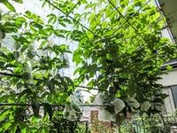 スチューベンの摘果 2018 グリーンカーテンの出来映え - にゃんてワンダホー!