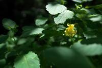 汗だくキツリフネ(黄釣舟)他 - 身近な自然を撮る