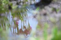 逆さ花菖蒲 - Today's one photograph