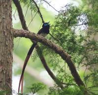 サンコウチョウの枝どまり姿、、 - ぶらり探鳥