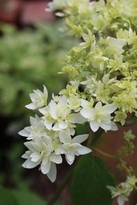 八重咲アナベルは星の世界 - HOME SWEET HOME ペコリの庭 *