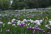 八紘学園花菖蒲園 - nshima.blog