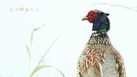 コウライキジ - 北の野鳥たち