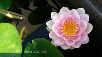 睡蓮の花と冬越しした宿根草 - たまの*雑記帳*