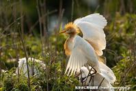 サギのコロニー - 気ままに野鳥観察