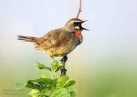 ノゴマは、美しい囀りがいつまでも耳に残る野鳥 - THE LIFE OF BIRDS ー 野鳥つれづれ記