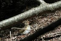コガラ・クロツグミ - でっかん散歩