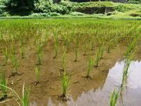 米作りへの挑戦!田植え後の様子!ジャンボタニシは働き者! - FLCパートナーズストア