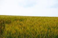 麦が主役の風景~7月の美瑛 - My favorite ~Diary 3~