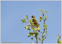 カワラヒワ 銀杏の木で - 野鳥の素顔 <野鳥と・・・他、日々の出来事>
