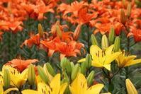 百合が原公園野外のユリです。初々しい花たちでした。 - ワイン好きの料理おたく 雑記帳