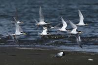 """コアジサシ(小鯵刺)/Little Tern - 「生き物たちに乾杯」 第3巻 """"A Toast to Wildlife!"""" vol. 3"""